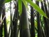 thailand_bambus